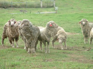 Photo: Sheep with lice (Source: Deb Maxwell)